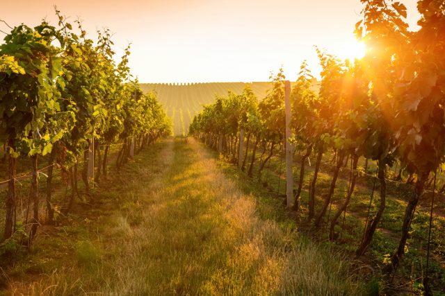 Zastita vinograda