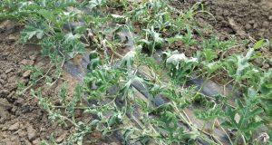 Ozon ostecuje biljke