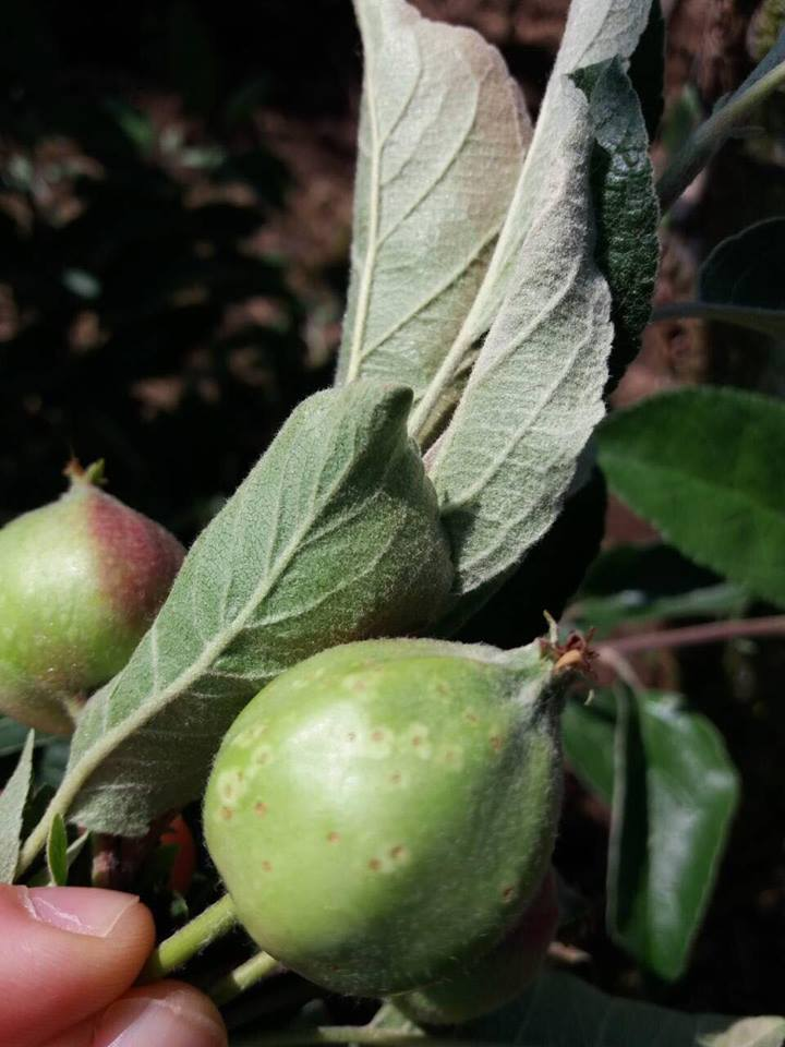 Trips na jabuci