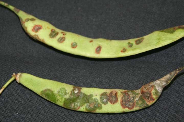 X-campestris-pv-phaseoli na mahunama
