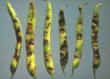 Antraknoza pasulja - Colletotrichum lindemuthianum