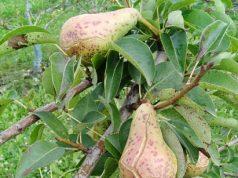 Fabrea maculata