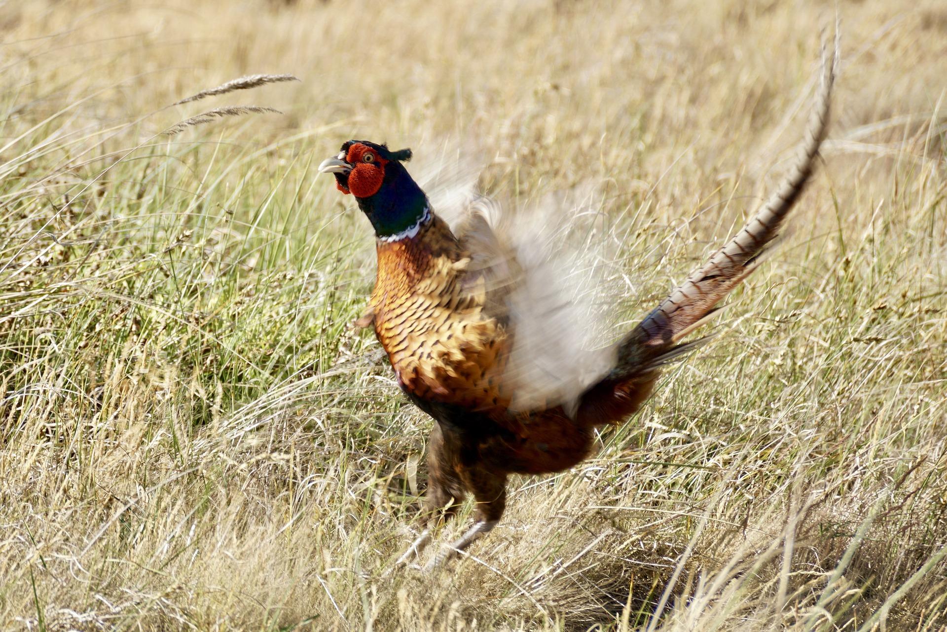 Poligamna ptica fazan