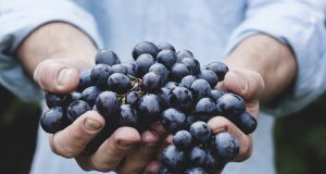 Berba grozdja