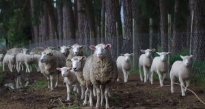 Šta je stvarno opasno kod šepavosti ovaca?