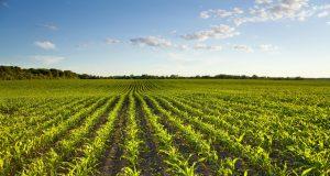 Dobar rod kukuruza