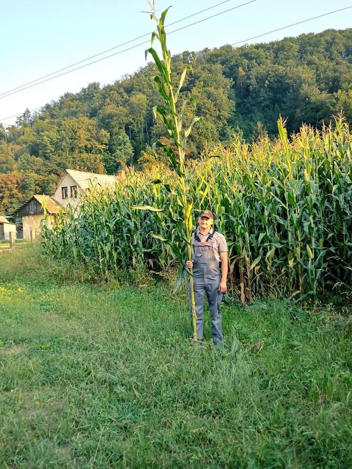 AS silažni hibridi kukuruza