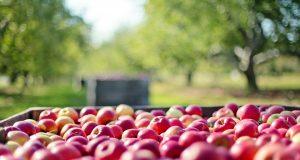 Cena jabuke