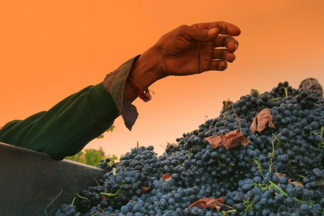 Berba i cuvanje grozdja