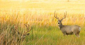 Rika i parenje jelena