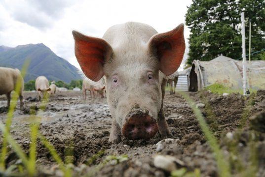 Afrička svinjska groznica u Kini