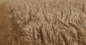 Kako do veceg roda psenice?
