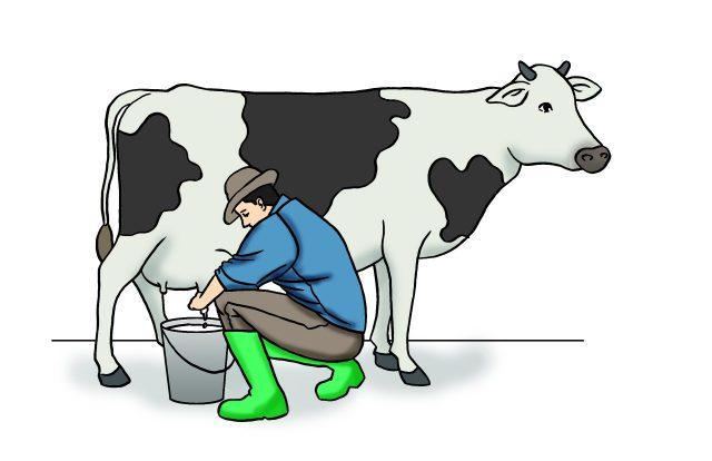 Sta utice na mlecnost krava