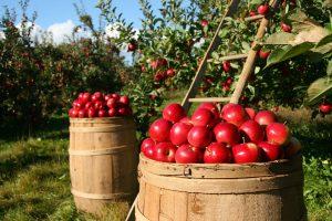 Jabuka bogata oksidansima