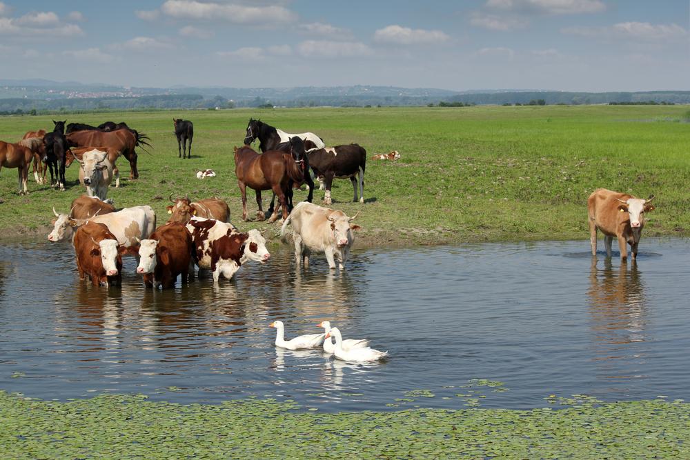 Koja su oboljenja kod goveda