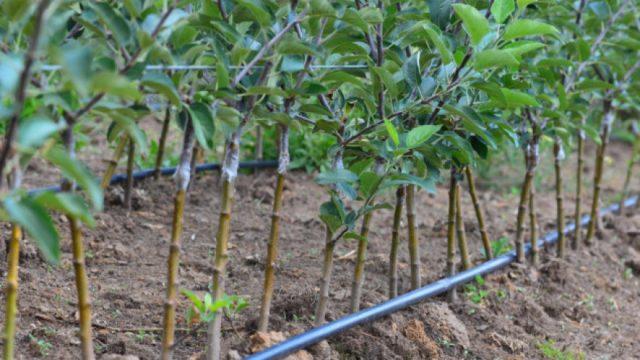 Pravilna sadnja i cuvanje vocnih sadnica