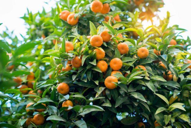 Proizvodnja mandarina u spaniji