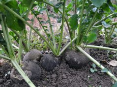 Uzgoj rotkve i isplativost