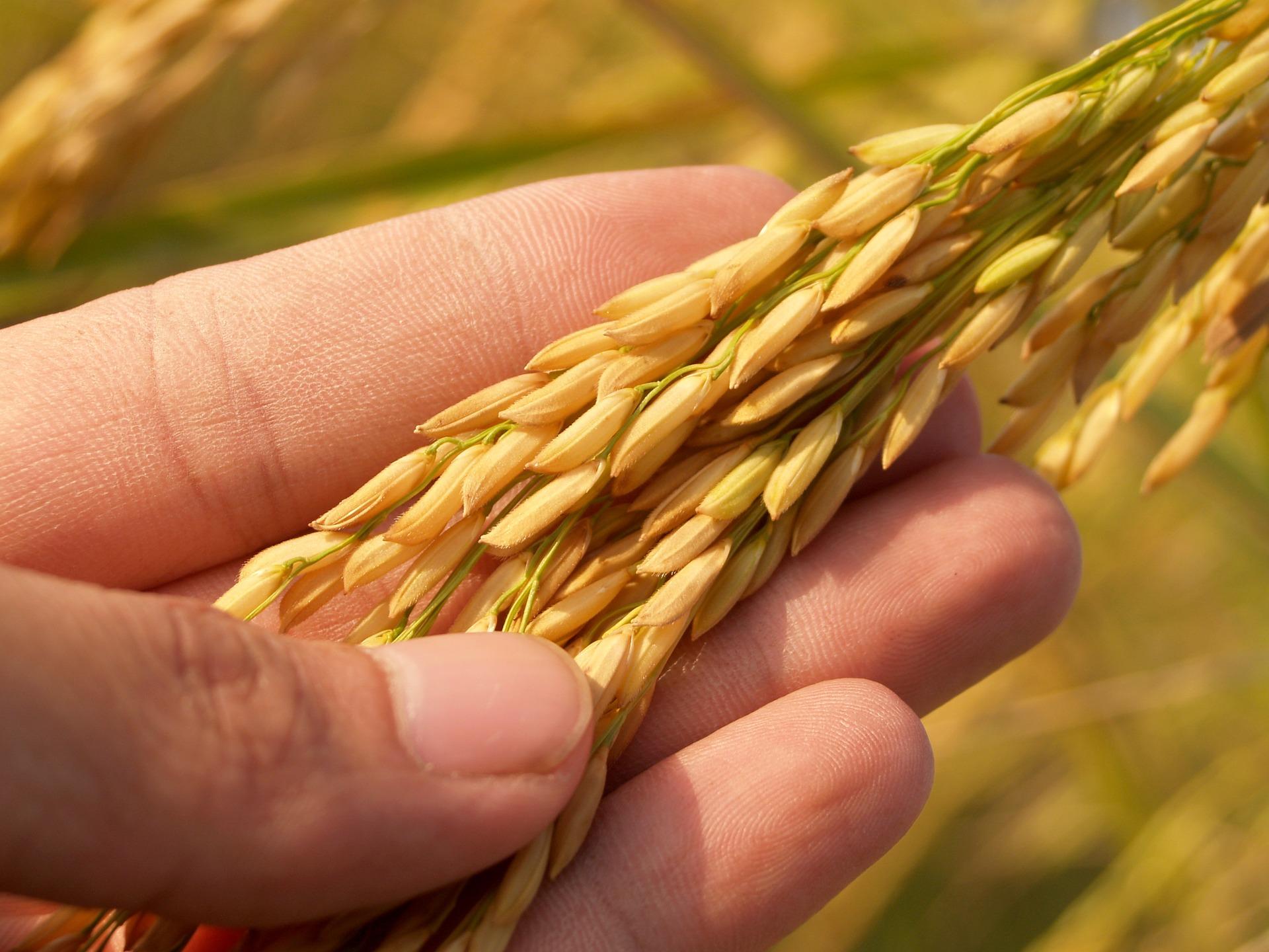 Agrotehnoloski uslovi za uzgoj pirinča
