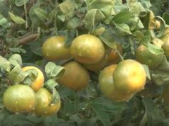 španske mandarine