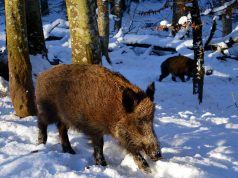 preventivni odstrel divljih svinja