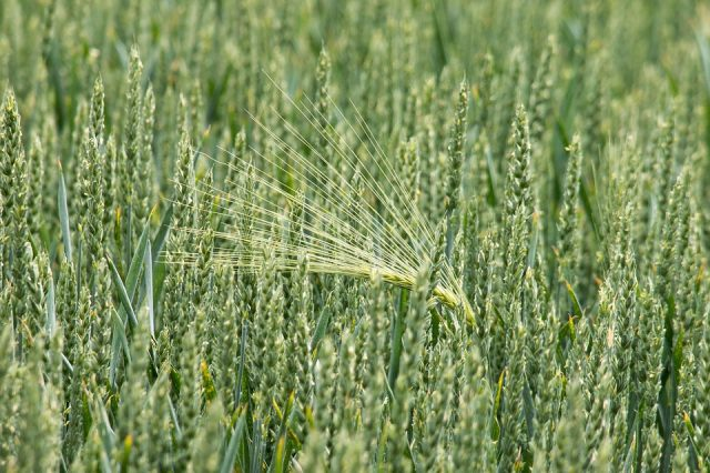 photo: pšenica