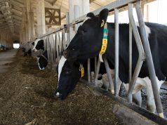 visokomlečne Holstein krave