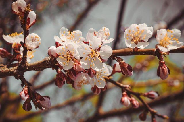kajsija u cvetu