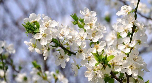 šljiva u cvetu