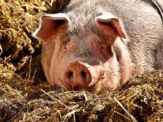 svinje kao najugroženija vrsta od ove bolesti