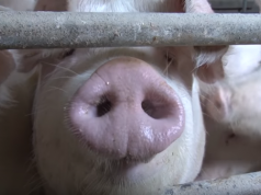 Svinje na farmi