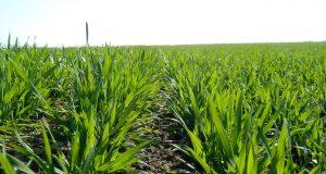pravo vreme za prvi tretman pšenice fungicidima