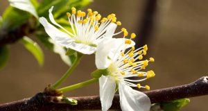 voće u cvatu