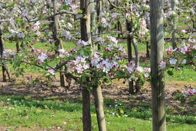 voćnjak u cvetu