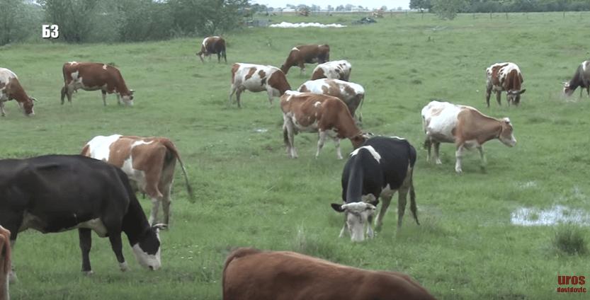 uzgoj krava muzara - šta utiče na mlečnost