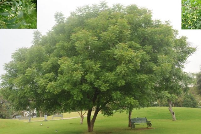 Nim drvo