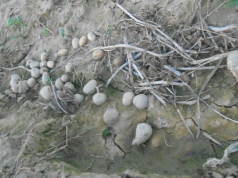 Plemenjaca krompira