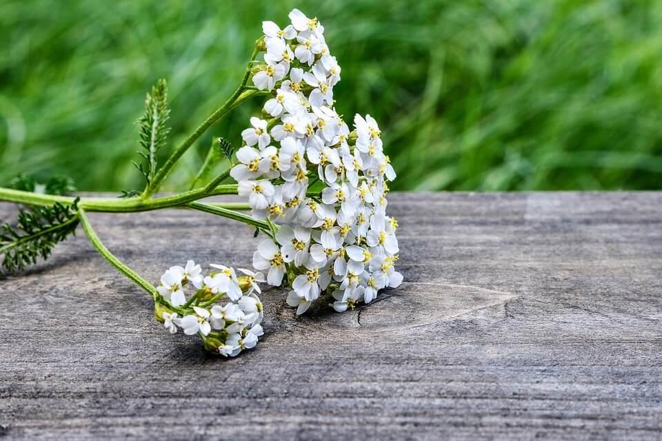 cvet hajdučke trave
