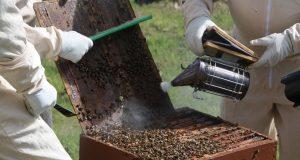 foto: Pixabay, dimljenje pčela