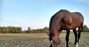 foto: J.El Omari, engleski punokrvni konj