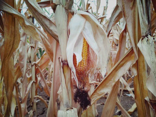 foto: J. El Omari, koren kukuruza