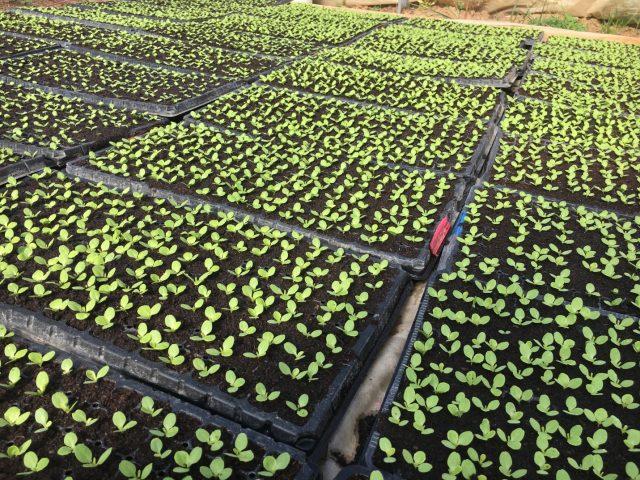 foto:M.Stojanović, odličan rasad zelene salate