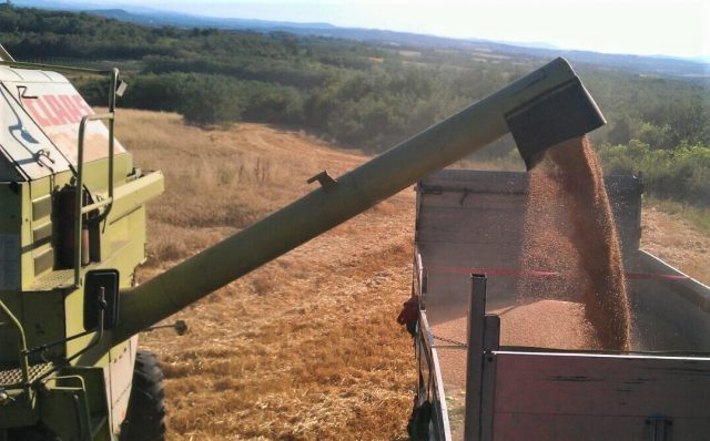 pšenica žetva