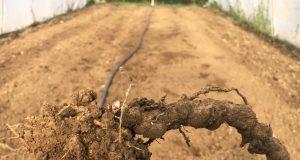 foto: M. Stojanović, simptomi prisustva nematoda na korenu paradajza