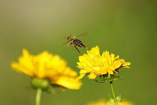 pčela, pixabay