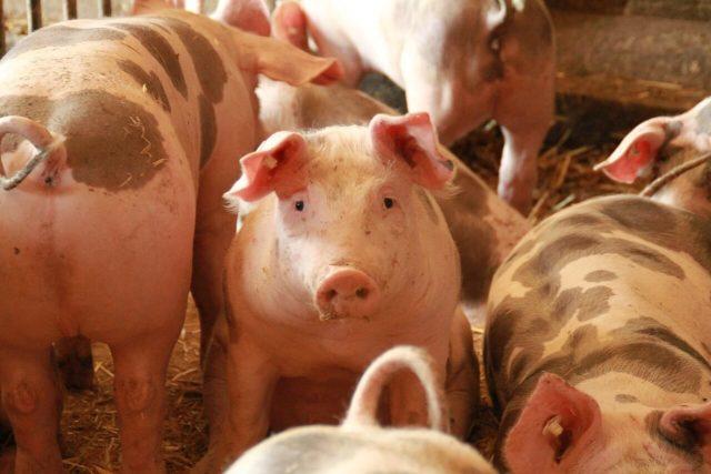 pixabay svinje