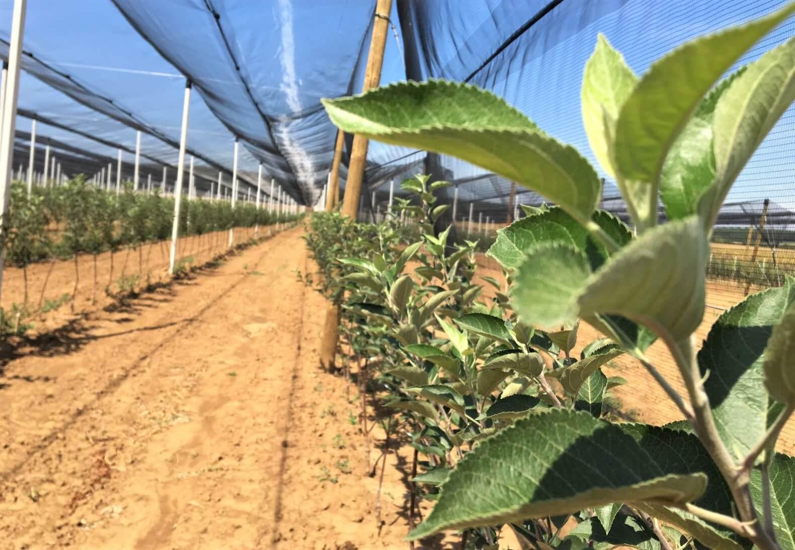 jabuke sadnice