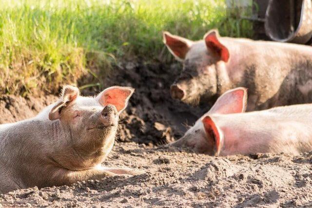 foto: Pixabay od 2010. godine ne postoji nijedan zabeležen slučaj klasične kuge svinja