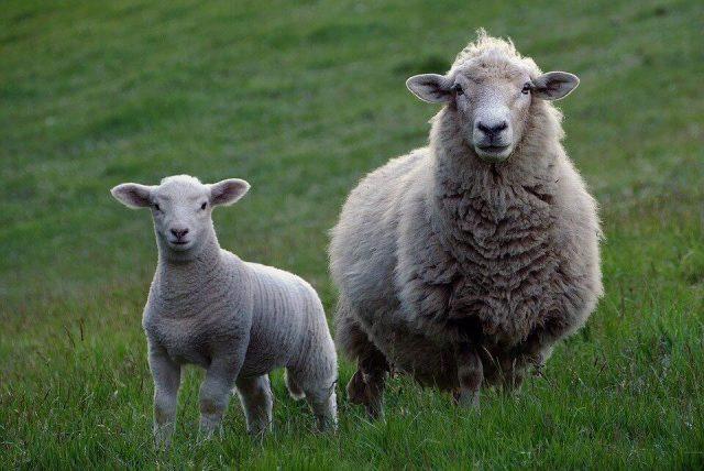 foto: Pixabay, subvencije po ovci iznose 7.000 dinara, a po jagnjetu 2.000 dinara
