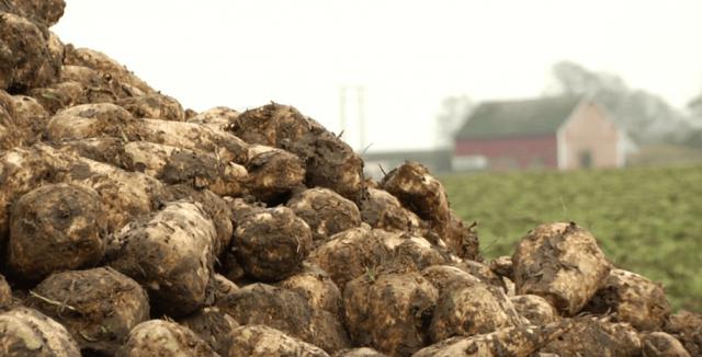 foto: Lunduniversity, pad proizvodnje šećerne repe
